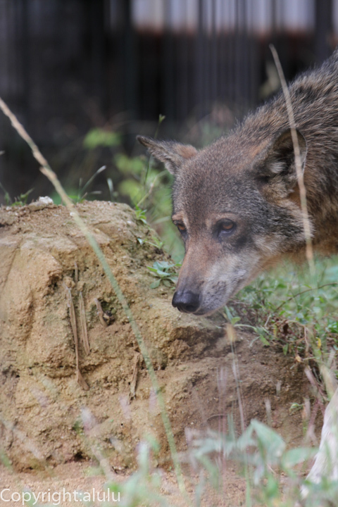 ヨーロッパオオカミ 動物写真