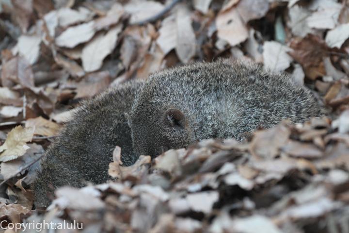 埼玉県こども自然動物公園 シママングース 画像