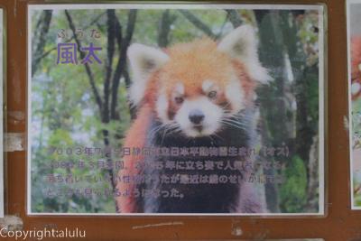 風太 レッサーパンダ