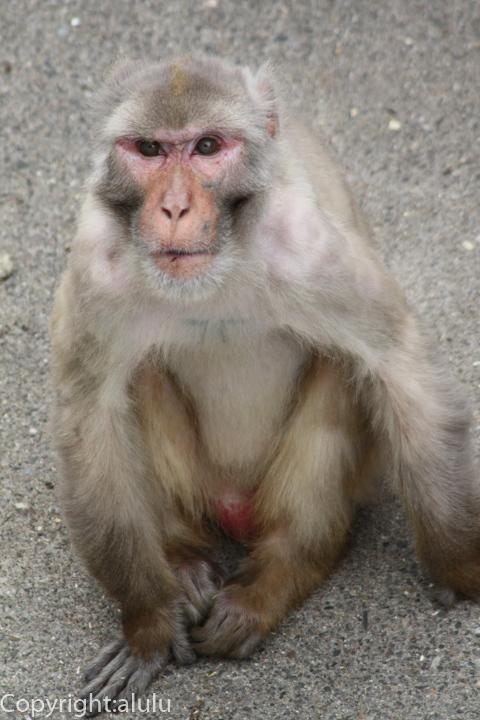 東武動物公園 アカゲザル 画像