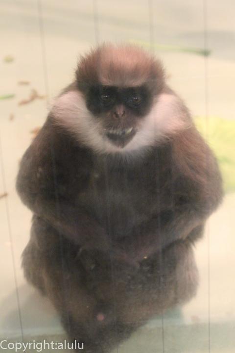 カオムラサキラングール 動物園