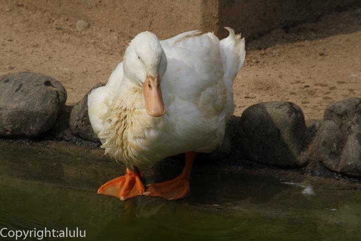 和歌山公園動物園 アヒル 画像