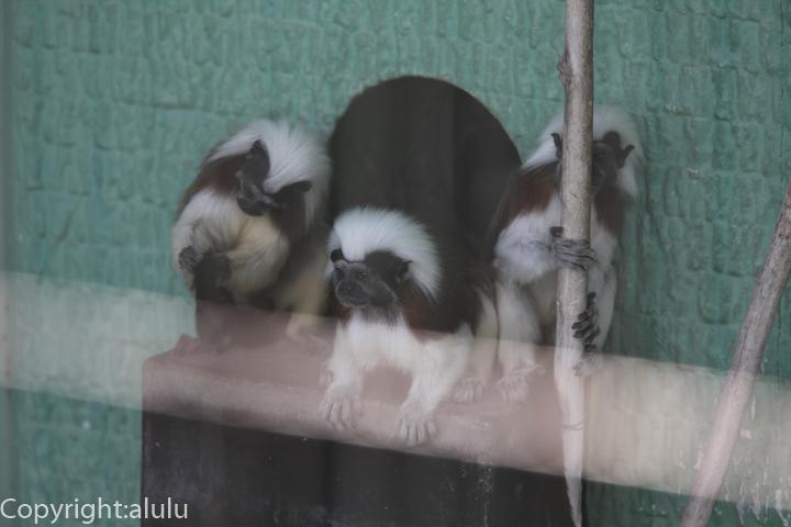 遊亀公園付属動物園 ワタボウシパンシェ