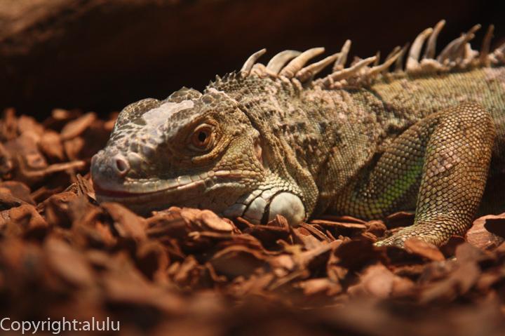 日本平動物園 は虫類館 グリーンイグアナ