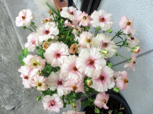 八重の桜 ラナンキュラス