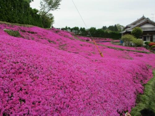 2012黒木さんちの芝桜