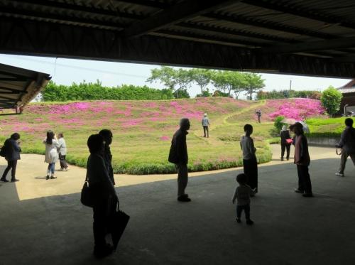2017黒木さんちの芝桜