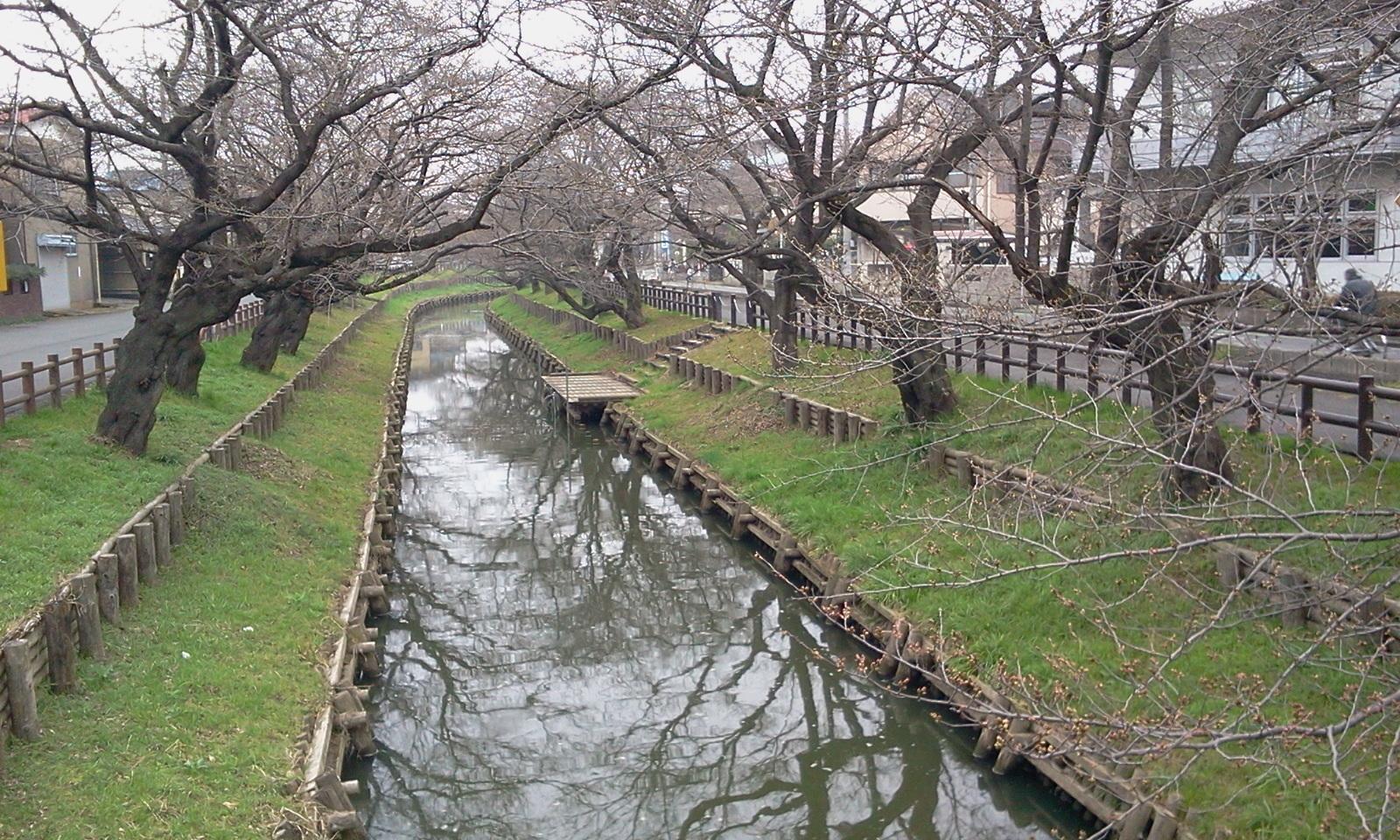sakura-3gatu-kawagoe.jpg