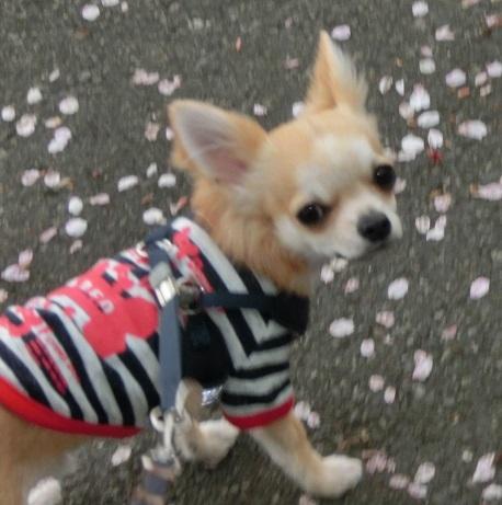 4月15日お散歩栗吉 CIMG4645