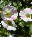 花の貴婦人