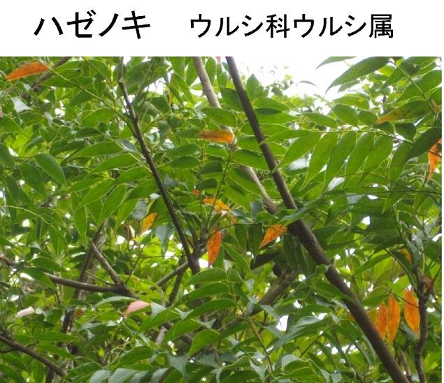 ハゼノキ60ro-
