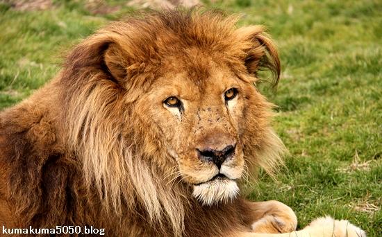 ライオン_1379