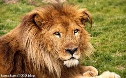 ライオン_1400