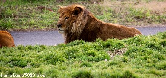 ライオン_1422