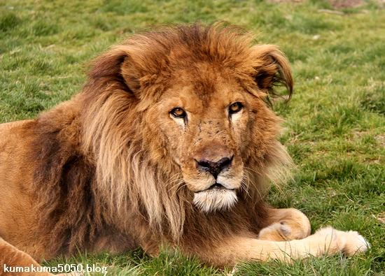 ライオン_1430