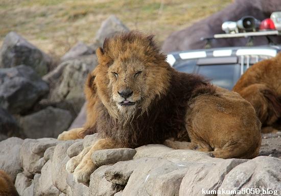 ライオン_1497