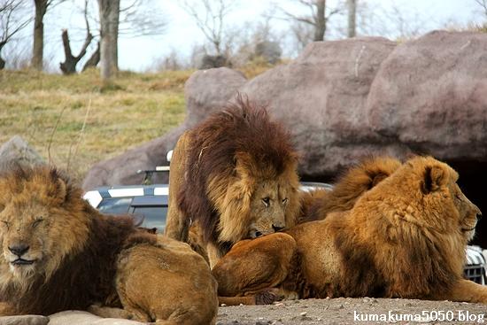 ライオン_1504