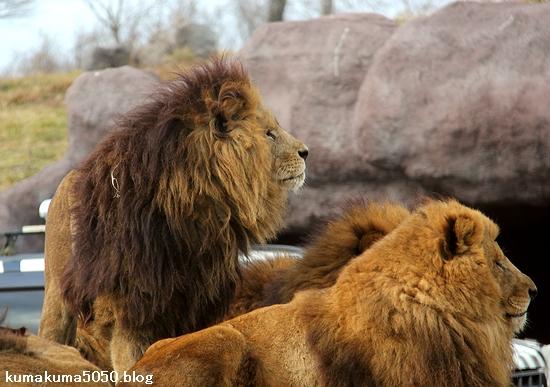 ライオン_1505