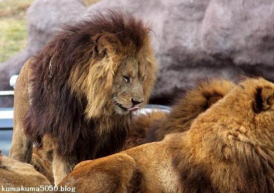 ライオン_1506