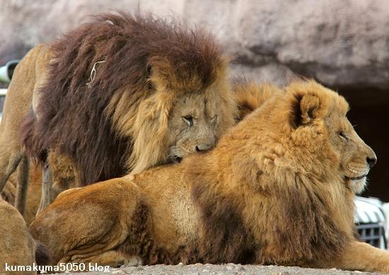 ライオン_1507