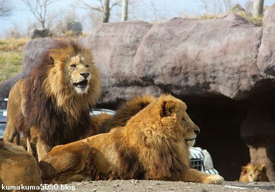 ライオン_1509