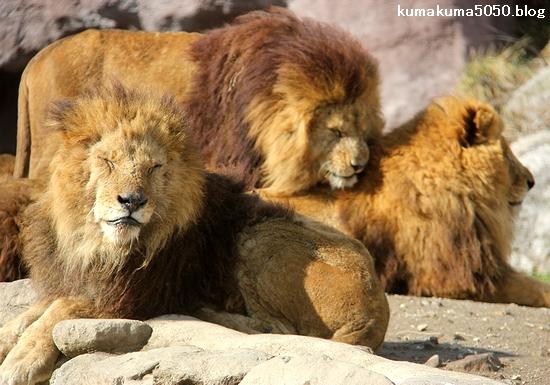 ライオン_1513