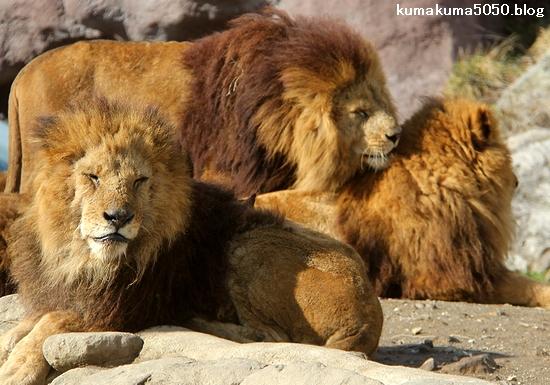 ライオン_1515
