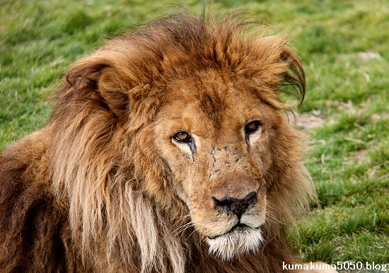 ライオン_1549