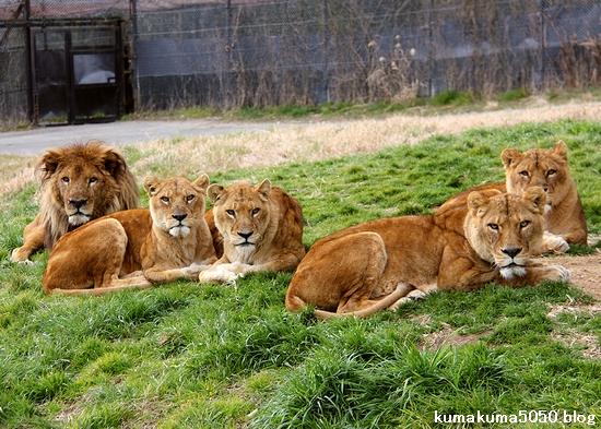 ライオン_1536