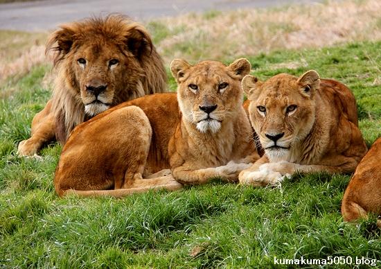 ライオン_1537