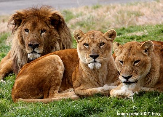 ライオン_1538