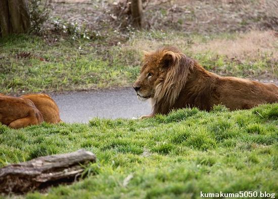 ライオン_1542