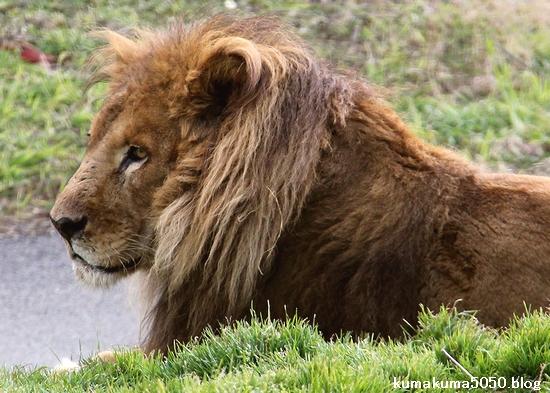 ライオン_1543