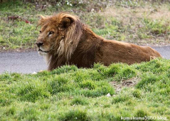 ライオン_1544