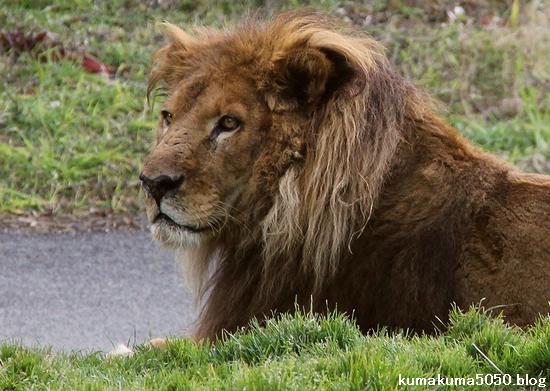 ライオン_1545