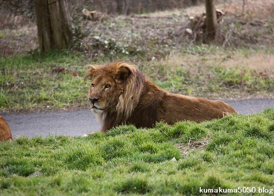 ライオン_1546