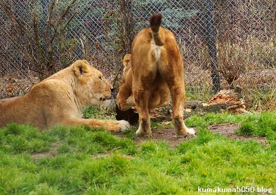 ライオン_1556