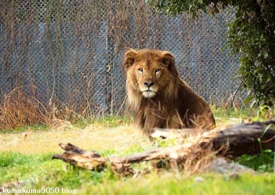 ライオン_1558
