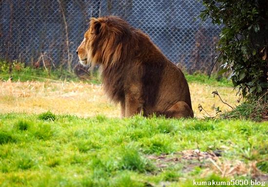 ライオン_1560