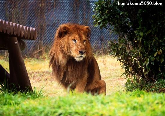 ライオン_1563