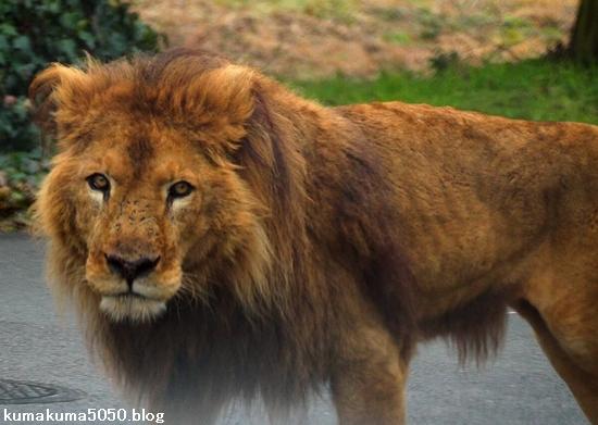 ライオン_1571