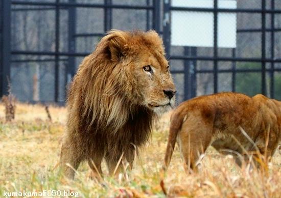 ライオン_1575