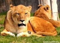 ライオン_1576
