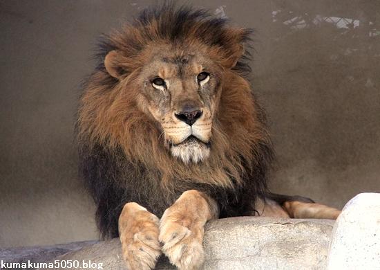 ライオン_1591