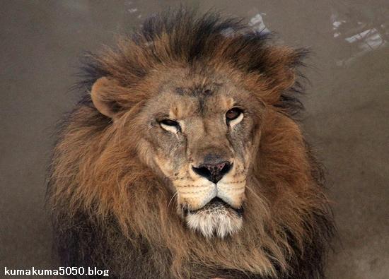 ライオン_1592