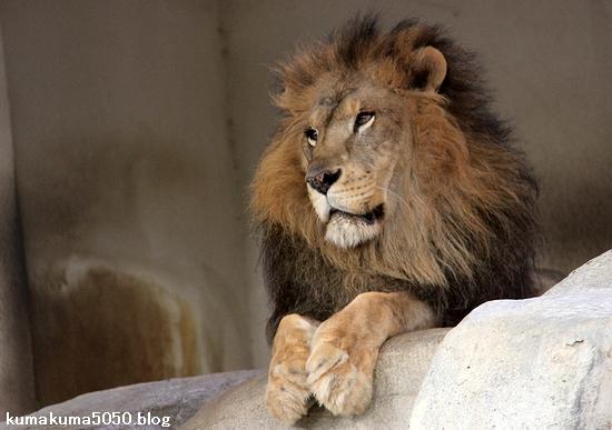 ライオン_1593