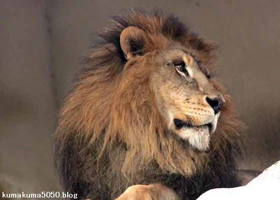 ライオン_1595