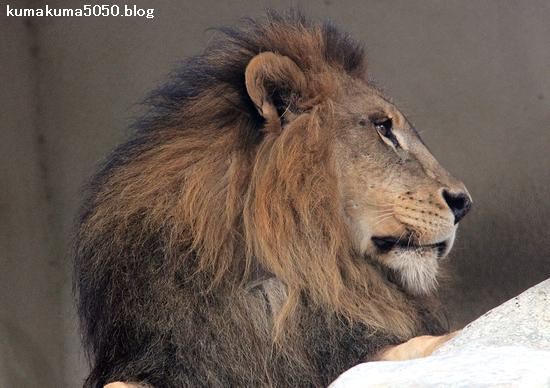 ライオン_1597