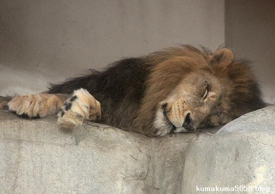 ライオン_1606