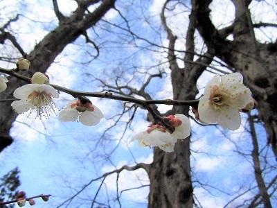 寒そうな梅の花